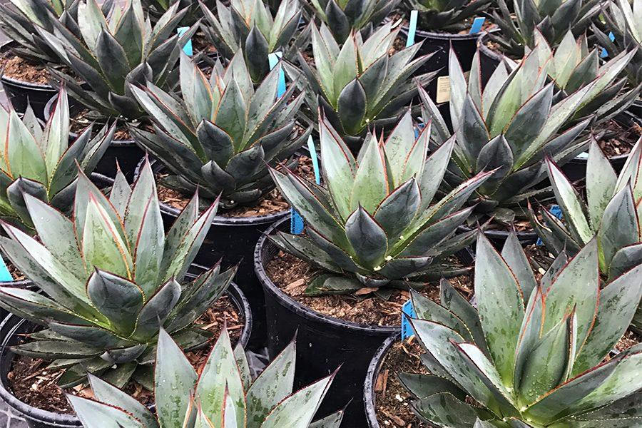 The agave plant grows in a rosette shape and dies after flowering. Their colors can range from blue to green.