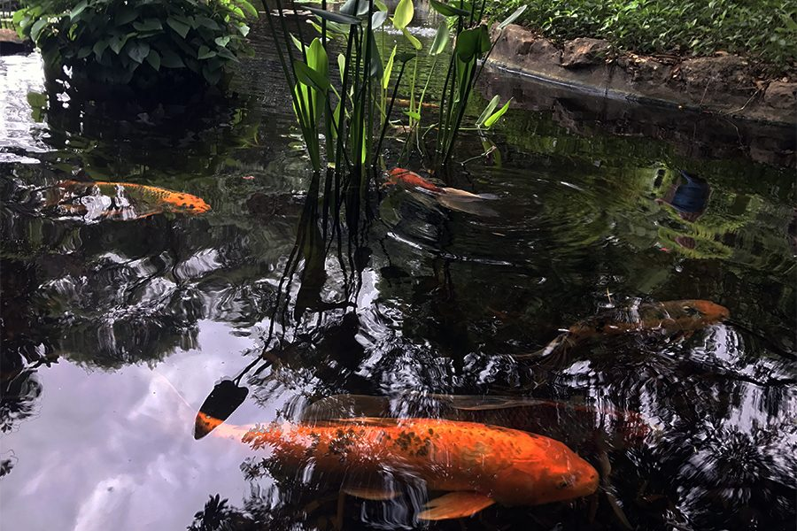 The+koi+share+a+home+with+a+beloved+water+snake.+Koi+are+traditionally+found+in+Asia+and+Europe.